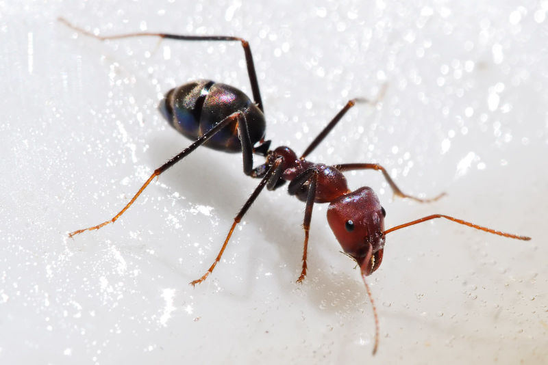 Fire Ant Control in Dallas : carpenter ants in attic  - Aeropaca.Org