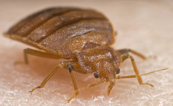 Bed Bud Exterminator & Bed Bug Treatment