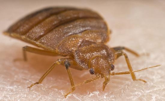 bed bug exterminator - Bed Bug Exterminator