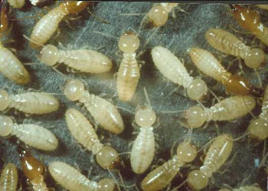 Termite Control & Extermination in North Richland Hills, Dallas, Fort Worth