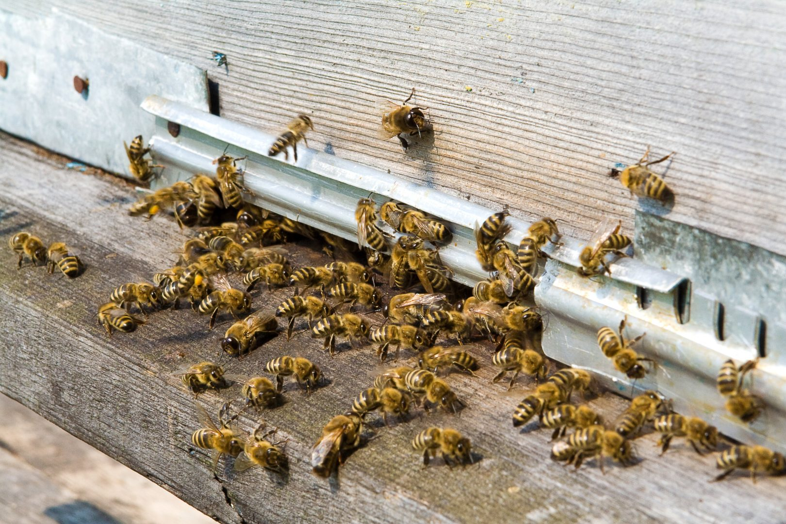 Bees crawling into building