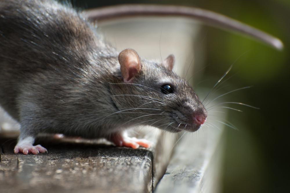 Rodent Exterminator And Rat Repellent