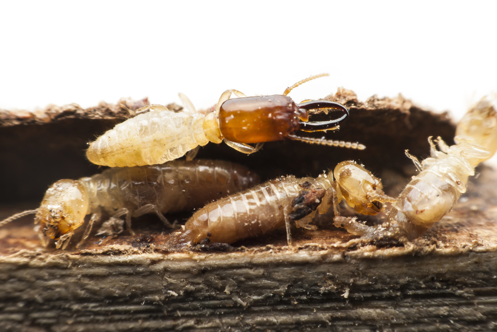 Pest of the Month: Termites