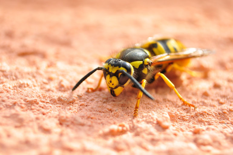 It's a Bee! Or is it a Wasp? Dallas Pest Control Company Explains the Difference