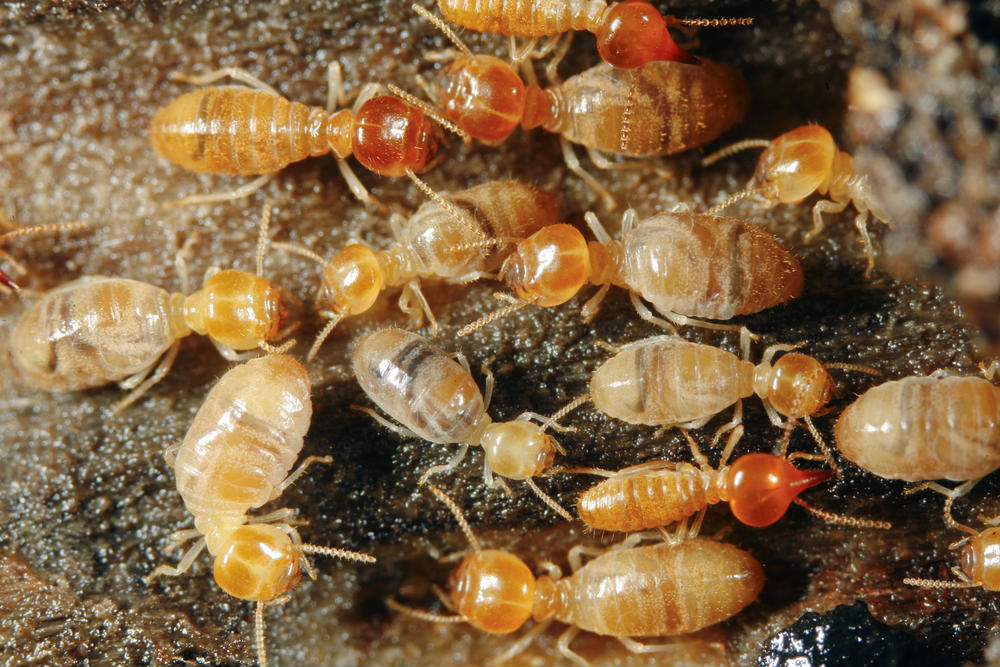 Termite Swarming Season: The Most Expensive Insect in Dallas, Part One