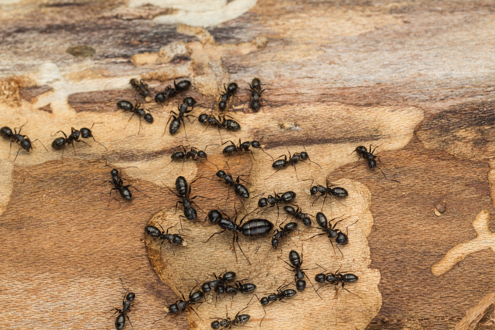 Signs that you need ant extermination in your home