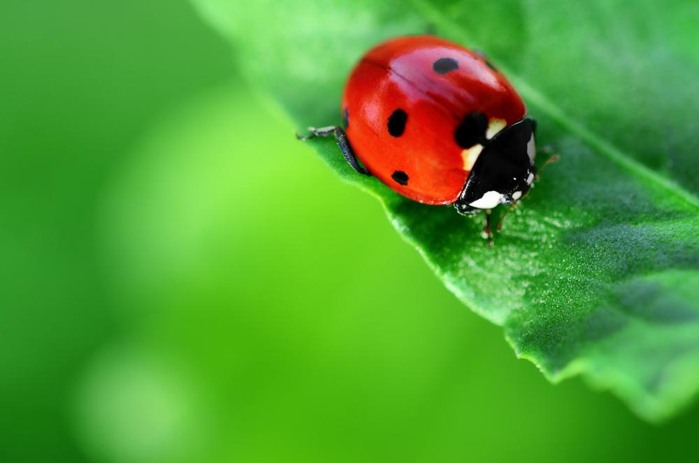 Ladybug or Asian Beetle?