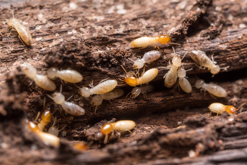 Termites in the winter