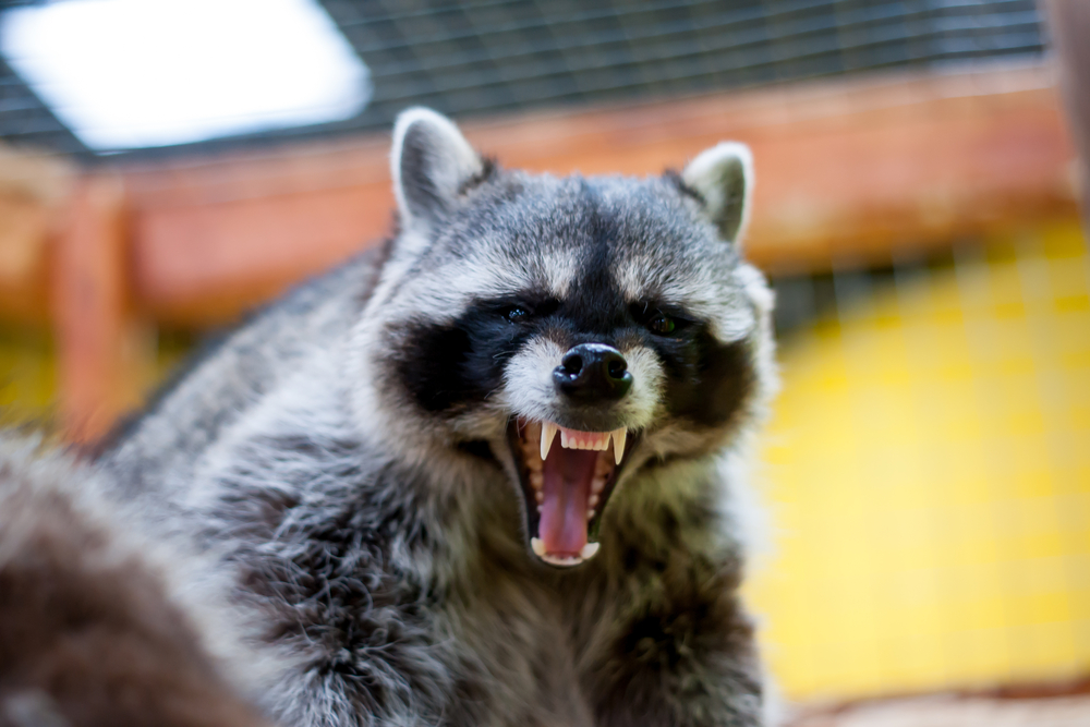 Raccoon Pests