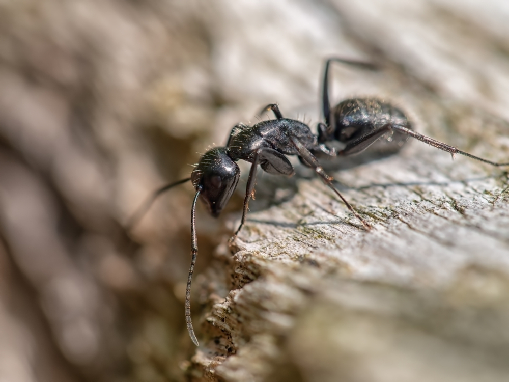 Wood Ant aka Carpenter Ant