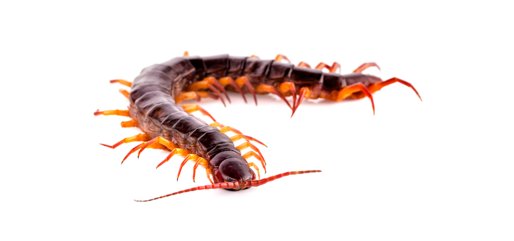 How Many Legs Are Too Many? Centipedes And Millipedes